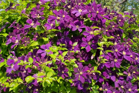 Climbing vine of purple clematis flowers  photo
