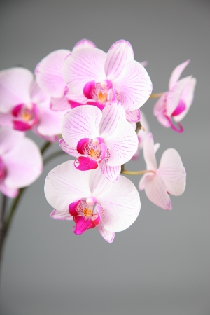 Beautiful pink orchids on a gray background closeup photo