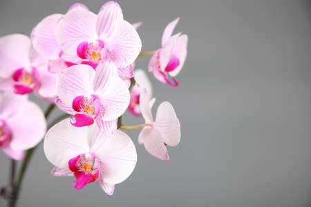 Pink orchid on a gray background closeup photo