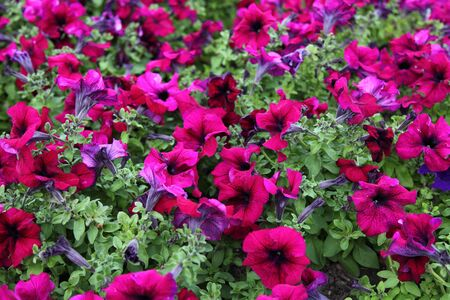 Blooming pink petunia on a bed closeup, floral background