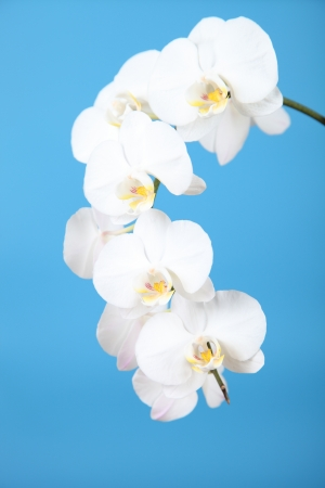 White orchid (Phalaenopsis)on a blue background close-up photo