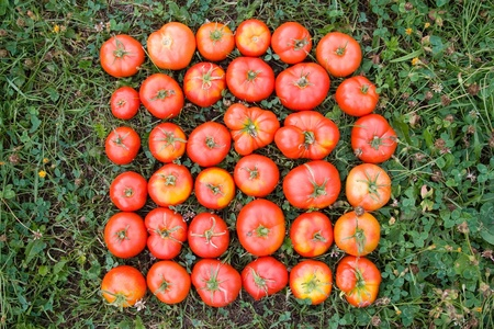 Ripe red tomatoes on a green grass photo