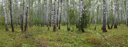 Summer birch forest landscape, panorama  Stock Photo