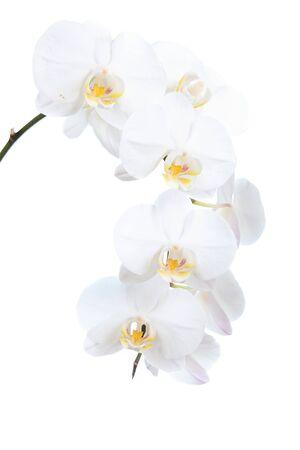 orchidee: Bianco orchidea isolato su uno sfondo bianco Archivio Fotografico