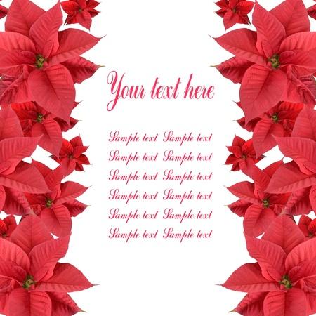 flor de pascua: Poinsettia rojo aislado en un fondo blanco