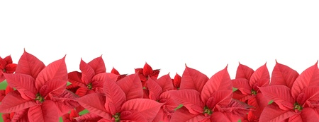 Red poinsettia isolated on a white background, border Фото со стока