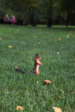 torrid: Red squirrel with a nut on the green grass