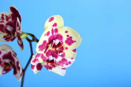 Beautiful yellow with spots orchid on a blue background closeup photo