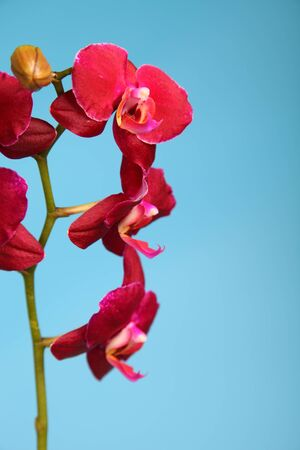 Beautiful pink orchid on a blue background closeup