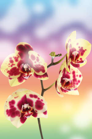 Beautiful yellow with red spots orchid on an abstract background
