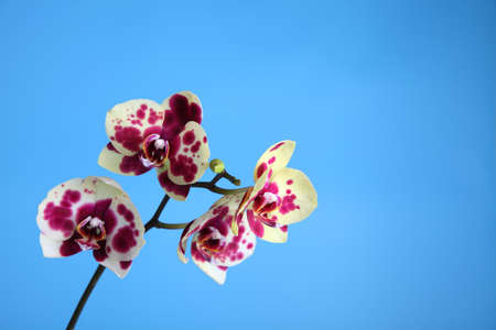 Beautiful pink orchid on a blue background closeup Stock Photo - 16920584