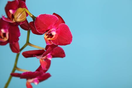 Beautiful pink orchid on a blue background closeup Stock Photo - 16920567