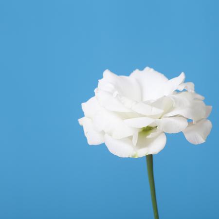 White eustoma on a blue background close-up photo