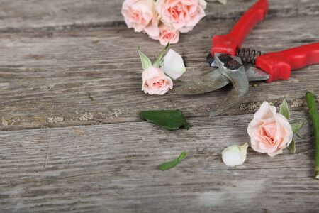 secateurs: Bouquet of pink roses and secateurs on a wooden background