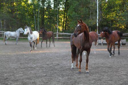 contemporaneous: Cavalli in un paddock in una limpida giornata estiva Archivio Fotografico