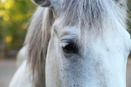 synchronously: Head of a white horse closeup