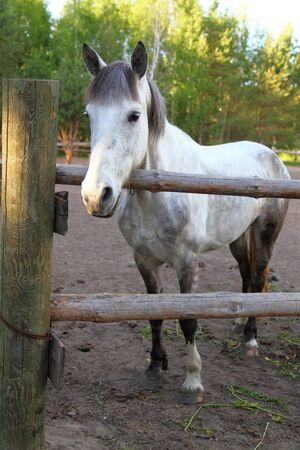 contemporaneous: Cavallo bianco in un paddock in una limpida giornata estiva
