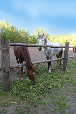 synchronously: Horses in a paddock on a clear summer day Stock Photo