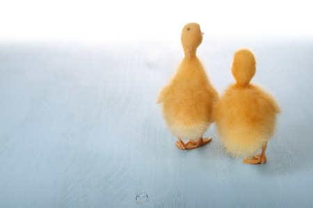 yellow duckling: Yellow duckling on a blue background Stock Photo