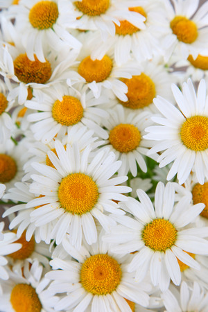 chamomiles: Beautiful chamomiles close-up , floral background Stock Photo