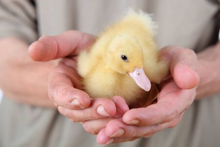yellow duckling: Yellow duckling in male hands