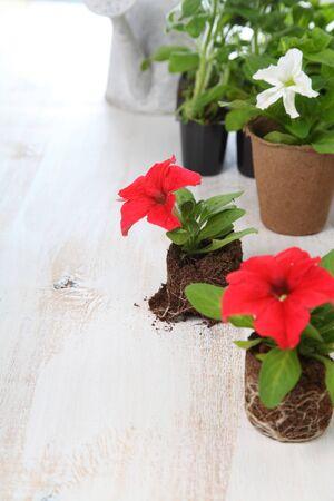 turba: Las pl�ntulas de petunia en macetas de turba en un fondo de madera clara Foto de archivo