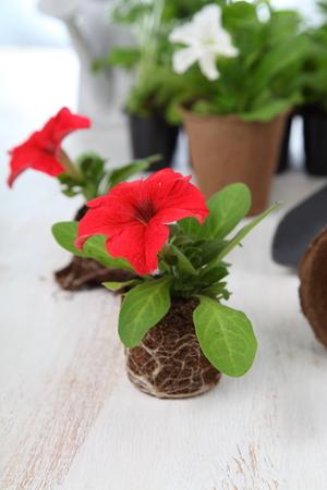 turba: Seedlings of petunias in peat pots on a light wooden background Foto de archivo