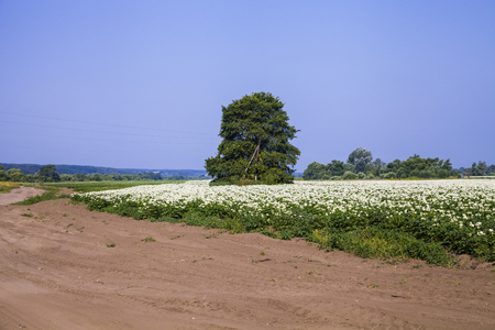 Blooming potato field on a sunny summer day. Agriculture, cultivation of vegetables.