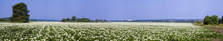 Panorama. Blooming potato field on a sunny summer day. Agriculture, cultivation of vegetables. Stock Photo