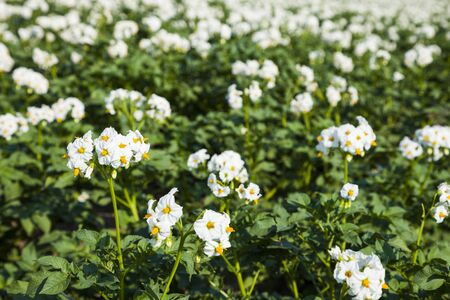 Flowering potatoes on a  field close-up. Agriculture, cultivation of vegetables. Stock Photo