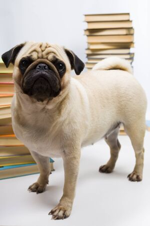 Funny dog on the background of books. Stock Photo