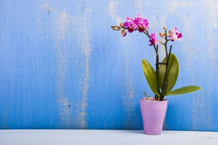Orchid in a pot on a blue wooden table. Beautiful indoor flower close-up. Gift.