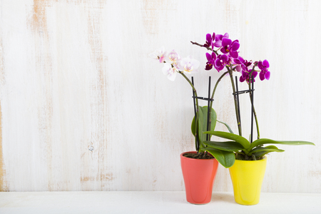 Two orchids in pots on a wooden table. Beautiful indoor flowers close-up. Gift.