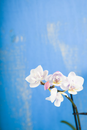 Pink orchid on a blue wooden background. Beautiful indoor flowers close-up. Gift. on a blue wooden table. Beautiful indoor flowers close-up. Gift. Stock Photo