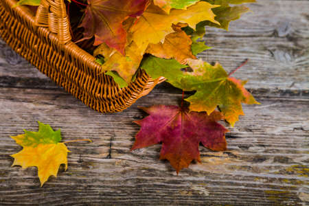Autumn maple leaves in the basket on an old wooden background