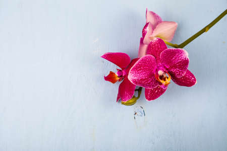 spot: Orchid (Phalaenopsis) on a blue wooden table, top view. Beautiful background for your design.