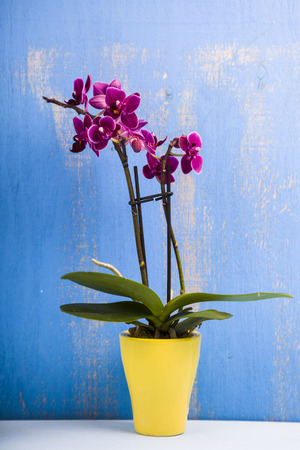 Orchid in pot on a  blue wooden table. Beautiful indoor flowers close-up. Gift. Stock Photo