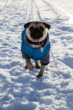 Dog on snow-covered road in winter. Pug dressed in blue overalls. Bright frosty winter day in the countryside. Stock Photo