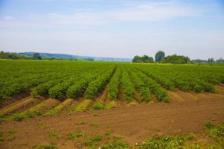 Potato field on a sunny summer day. Agriculture, cultivation of vegetables. Stock Photo