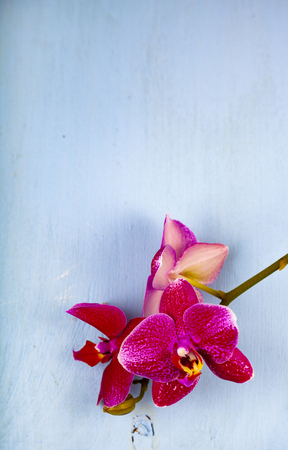 Orchid (Phalaenopsis) on a blue background. Beautiful background for your design. Stock Photo