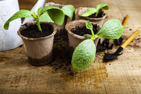 Seedlings in peat pots and tools on a wooden table