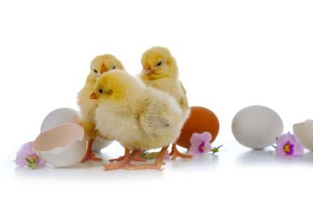 Yellow chickens,flowers and eggs isolated on a white background. Easter fluffy chickens.