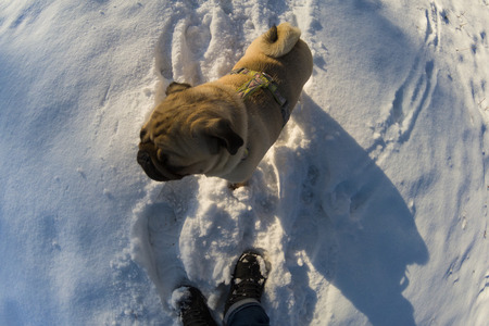 Dog walks in the winter. Pug stands at the feet of a man.