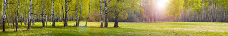 Birch grove and meadow. Forest on a sunny day. Beautiful summer landscape. Panorama. Stock fotó