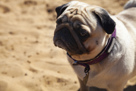 Dog pug is standing on the sand. Pug walks on a summer day outdoors.