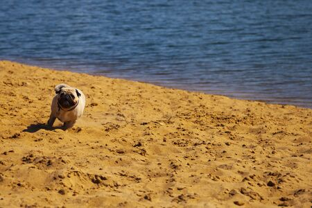 Dog pug is running on the sand. Pug walks on a summer day outdoors. Stock Photo