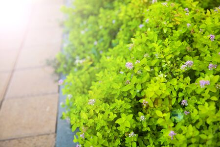 Green vibrant hedge with pink flowers and sidewalk.