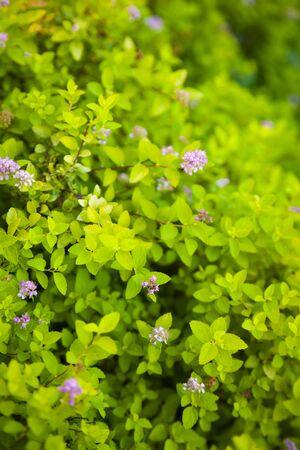 Green living hedge. Natural background. Stock fotó - 130286327