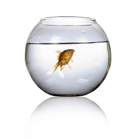 Goldfish in a round aquarium isolated on a white background. Banque d'images