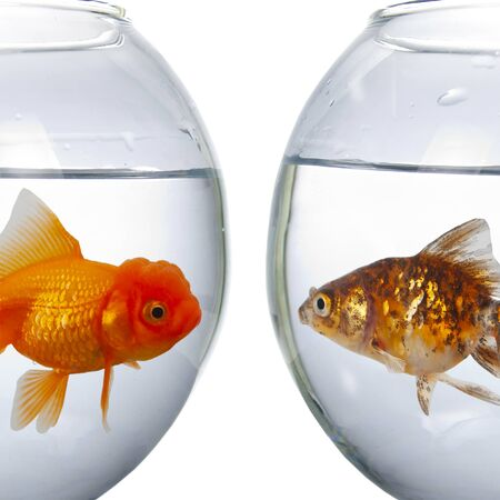 Two round aquarium with goldfish isolated on a white background.Fish look at each other. Standard-Bild